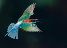 飞翔的蓝喉蜂虎图片