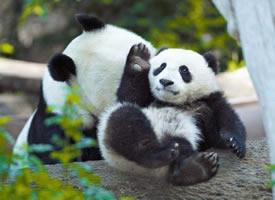 一组可爱爆棚的大熊猫图片