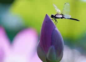 一组蜻蜓荷花图片欣赏
