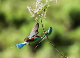 乖巧机灵的蓝喉蜂虎图片