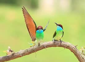 一组活泼的蓝喉蜂虎图片