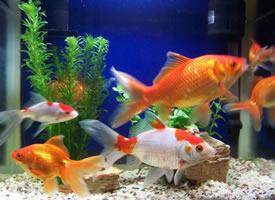 一组色彩绚丽的金鱼图片