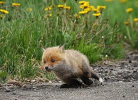 一组超级可爱的野生小狐狸