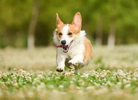 一组可爱听话的柯基狗狗