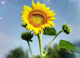 象征着阳光的向日葵图片