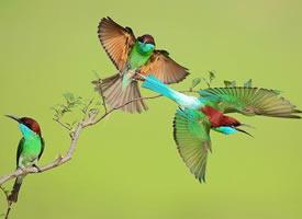 美丽活泼的蓝喉蜂虎图片