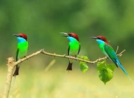 羽色华丽的蓝喉蜂虎图片