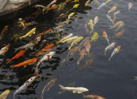 成群游玩的锦鲤图片