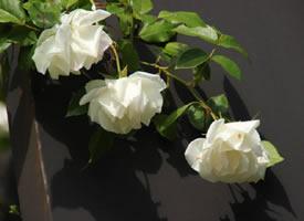 一组白色唯美的蔷薇花图片