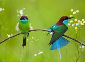 中国最美的小鸟——蓝喉蜂虎