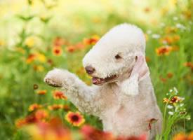 花丛中可爱的贝灵顿狗狗