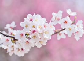 清新粉嫩的樱花图片桌面壁纸