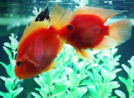 一组小清新的金鱼图片