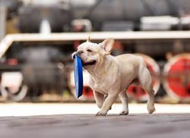 一组玩飞盘的法斗犬图片