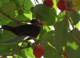 鸟儿吃红果果