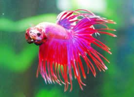 玫红色的斗鱼图片
