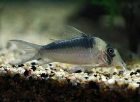 体型娇小的鼠鱼图片
