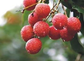 红红的荔枝挂枝头的图片