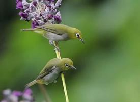 花枝上的绣眼鸟图片