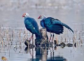 一组美丽的紫水鸡图片