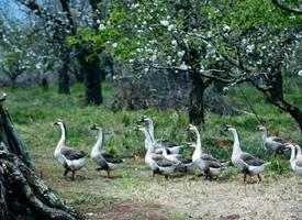 一组聚会的鹅图片欣赏