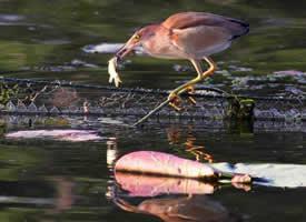 一组水上抓鱼的小鸟图片