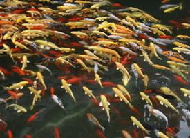 水里游来游去的锦鲤图片
