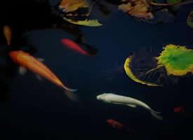 一组悠哉游哉的锦鲤图片