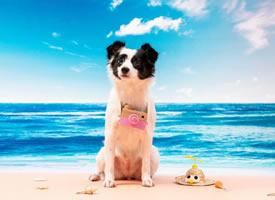 海边度假的可爱边牧狗狗