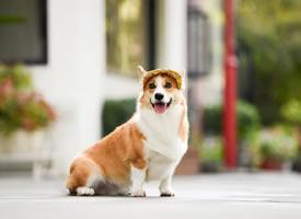 一组干净可爱的狗狗图片