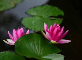 一组雨后莲花图片欣赏