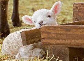 一组超可爱软绵的小绵羊