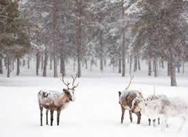 一组送好运的雪鹿图片欣赏