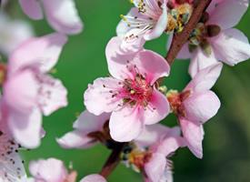 娇艳粉嫩的桃花图片桌面壁纸