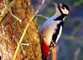 大斑啄木鸟图片大全