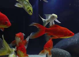 一组欢乐的金鱼图片