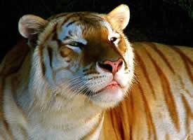 一组罕见颜色突变的孟加拉虎
