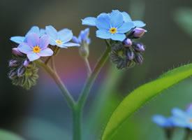 勿忘我蓝色小花图片桌面壁纸