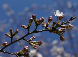 清新粉色樱花图片桌面壁纸