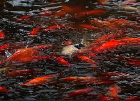 欢快摆动的鲜红锦鲤图片