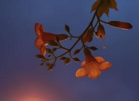 寂静夜空下的凌霄花图片