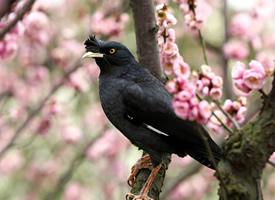 八哥鸟停在花枝头的图片