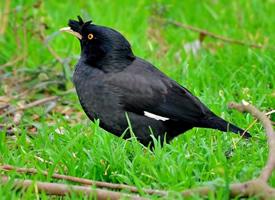胖嘟嘟的八哥鸟高清图片