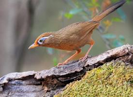 一组画眉鸟的高清图片