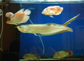 鱼缸里的观赏鱼实拍图片