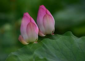莲石湖公园荷花图片欣赏