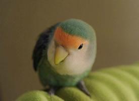 超级可爱的小鹦鹉,看完整个人都融化了