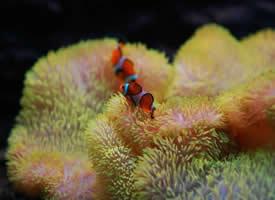海葵里的小鱼图片