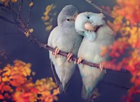相互依偎的小鹦鹉