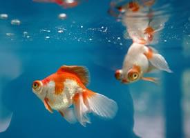 萌萌的小金鱼,梦幻般的色彩